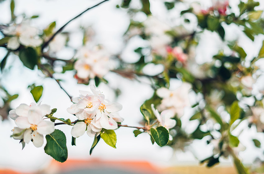 Garten frühlingsfit machen: weiße Blüten